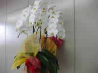胡蝶蘭満開20110703(1)