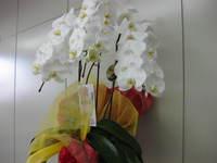胡蝶蘭満開20110703(3)