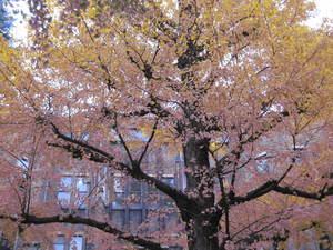 東京大学銀杏並木(2010年11月).JPG