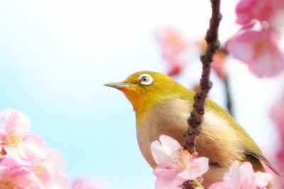 めじろと桜.jpg